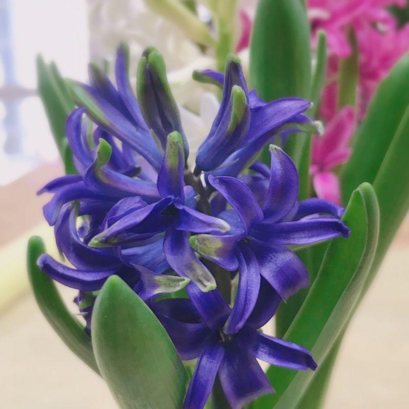 鉢植えヒヤシンス 花が終わったら…